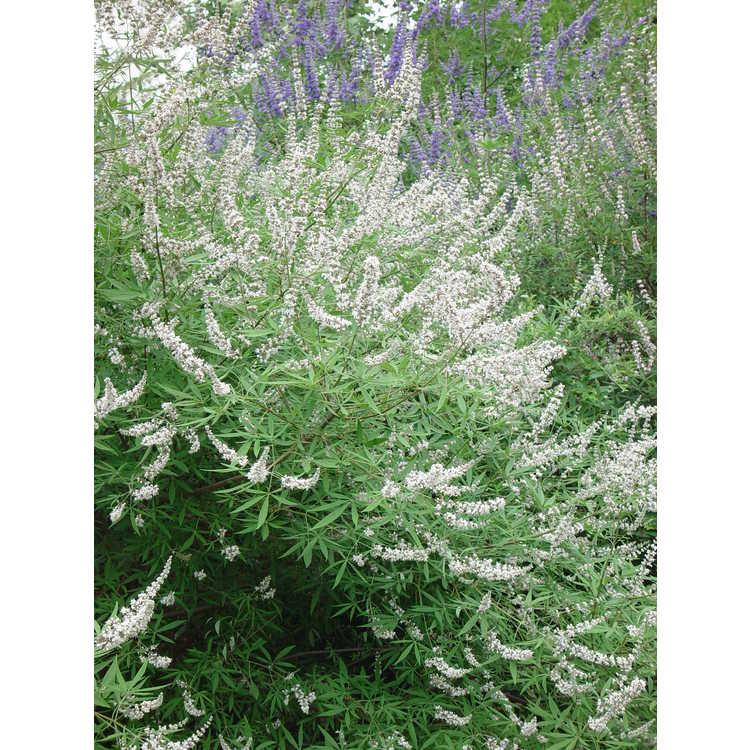 Vitex agnus-castus 'Alba' - white chaste tree