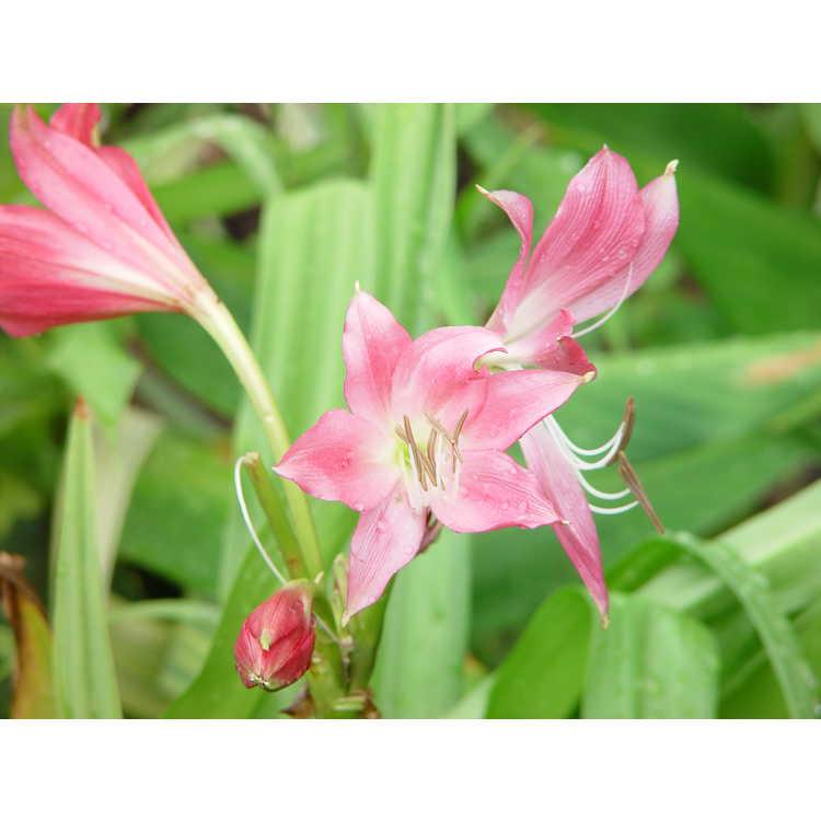 Crinum - crinum-lily