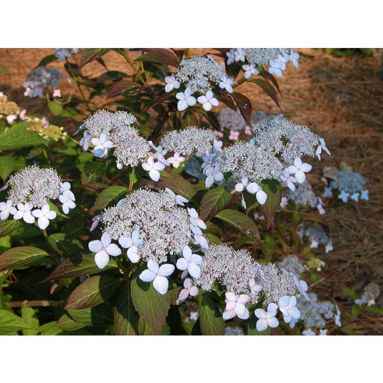 Hydrangea serrata (Wilson 7820)
