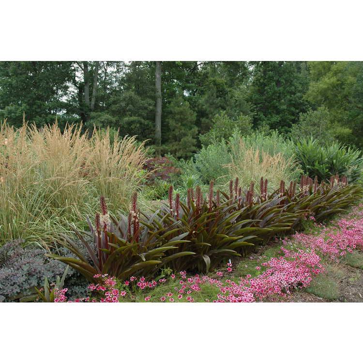 Eucomis comosa 'Sparkling Burgundy' - purple-leaf pineapple-lily
