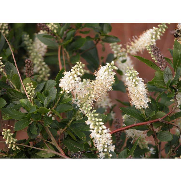 Clethra-alnifolia-002-NBG-7-05.JPG