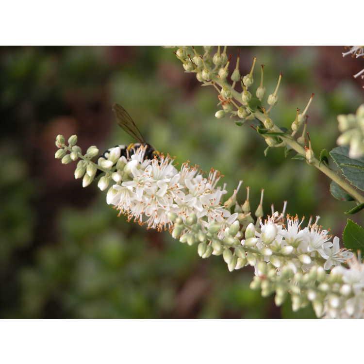 Clethra-alnifolia-003-NBG-7-05.JPG
