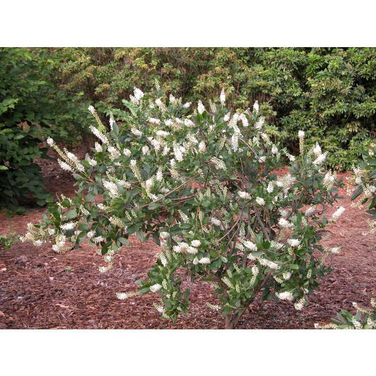 Clethra-alnifolia-004-NBG-7-05.JPG