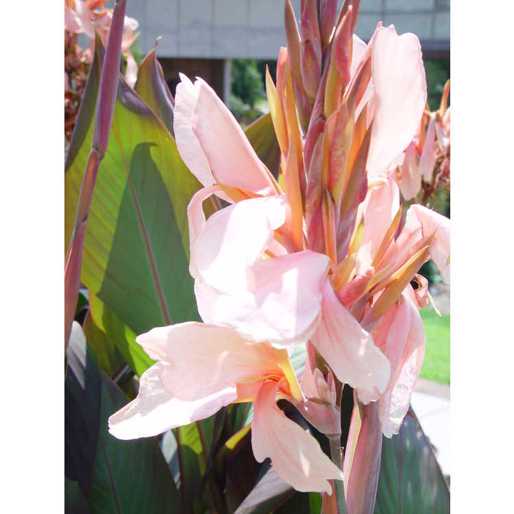 Canna 'Constitution' - hybrid canna-lily
