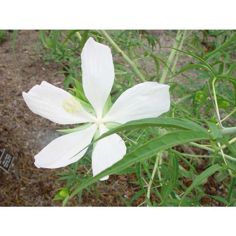 Hibiscus coccineus f. albus - white scarlet mallow