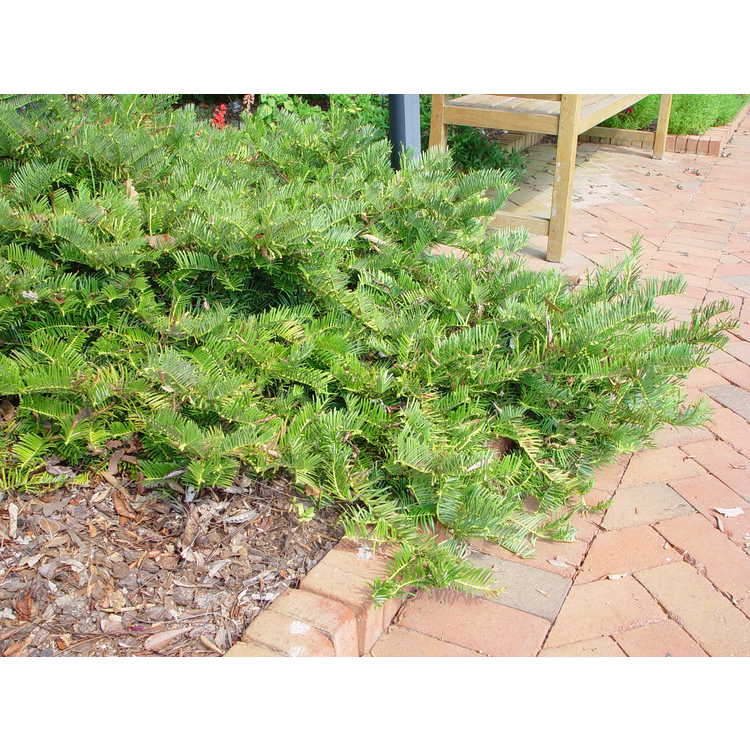 Cephalotaxus fortunei - Chinese plum-yew