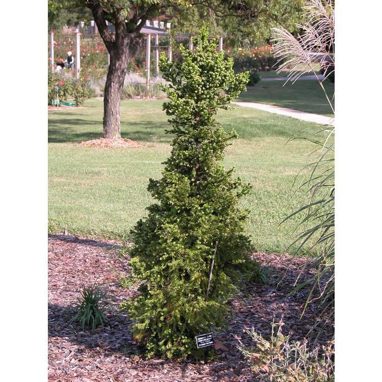 Cryptomeria japonica 'Black Dragon' - compact Japanese-cedar