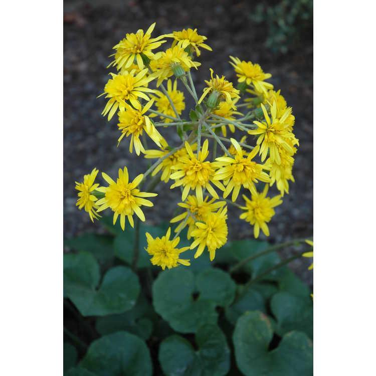 Farfugium japonicum Jitsukos Star