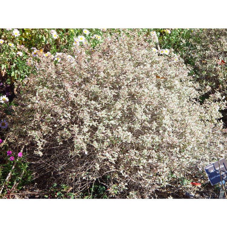 Abelia ×grandiflora 'Conti'