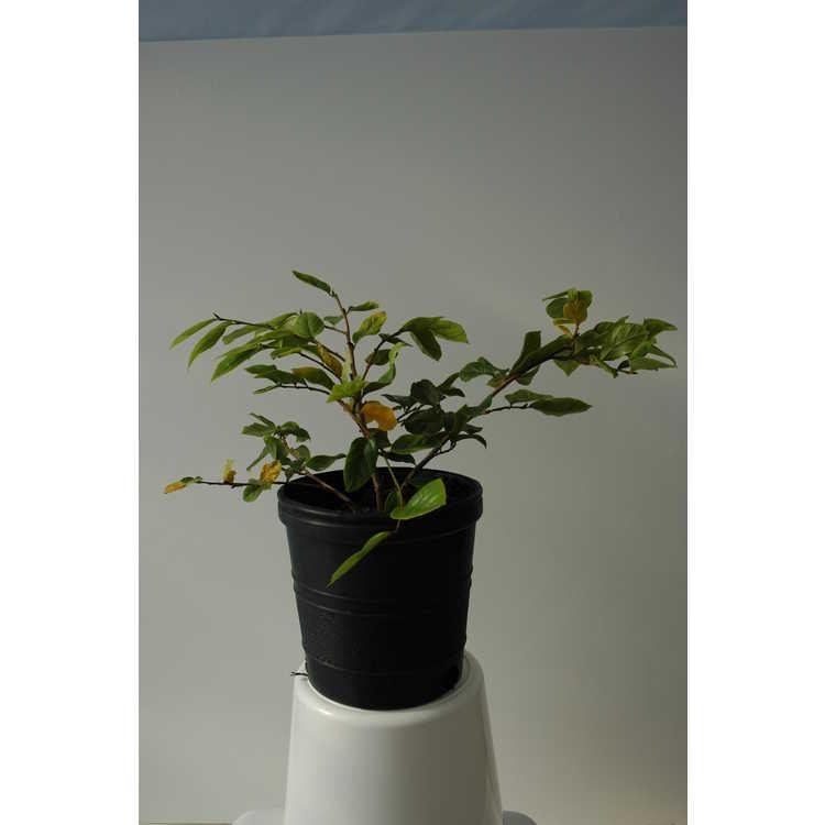 Sycopsis sinensis 'Variegata'