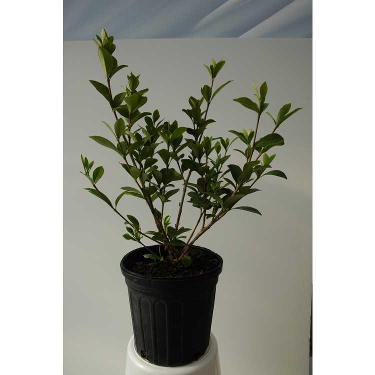 Gardenia jasminoides 'Lynn Lowrey' - Cape jessamine