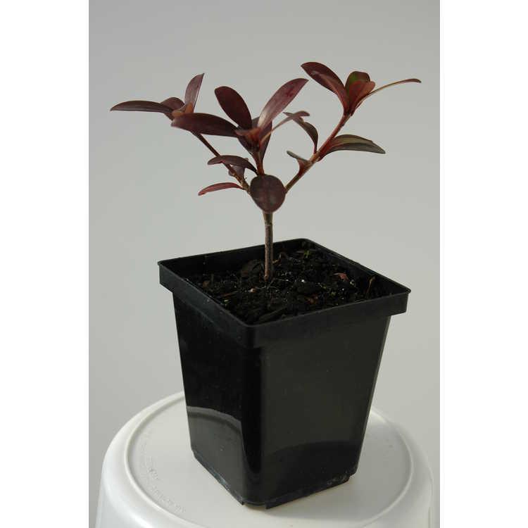Ternstroemia gymnanthera (purple-leaf)