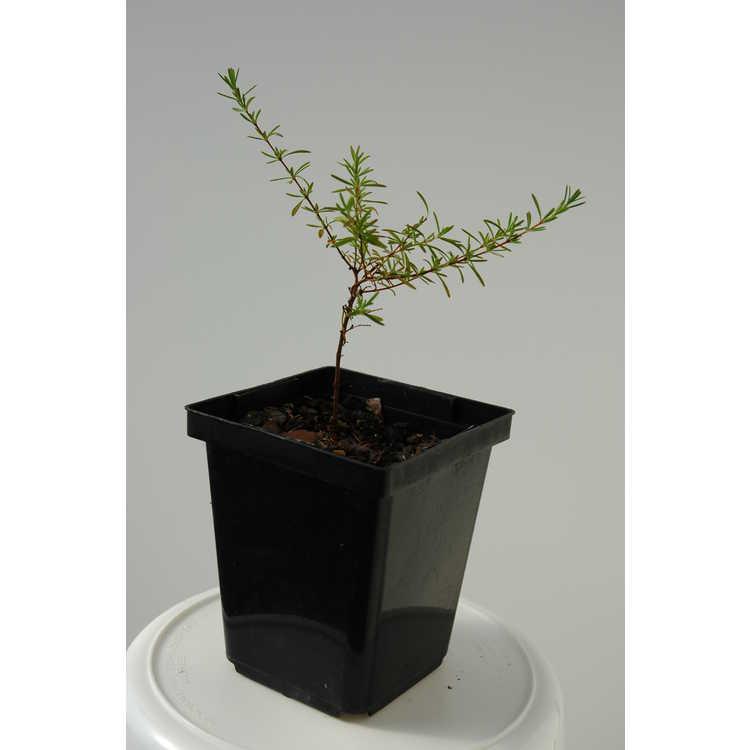 Hypericum galioides × H. brachyphyllum