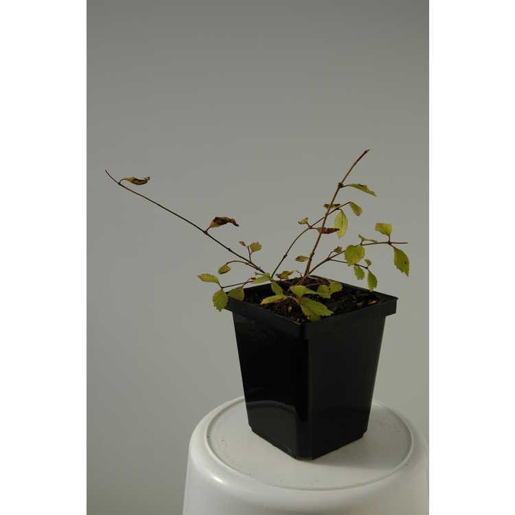 Callicarpa shikokiana - Shikoku beautyberry