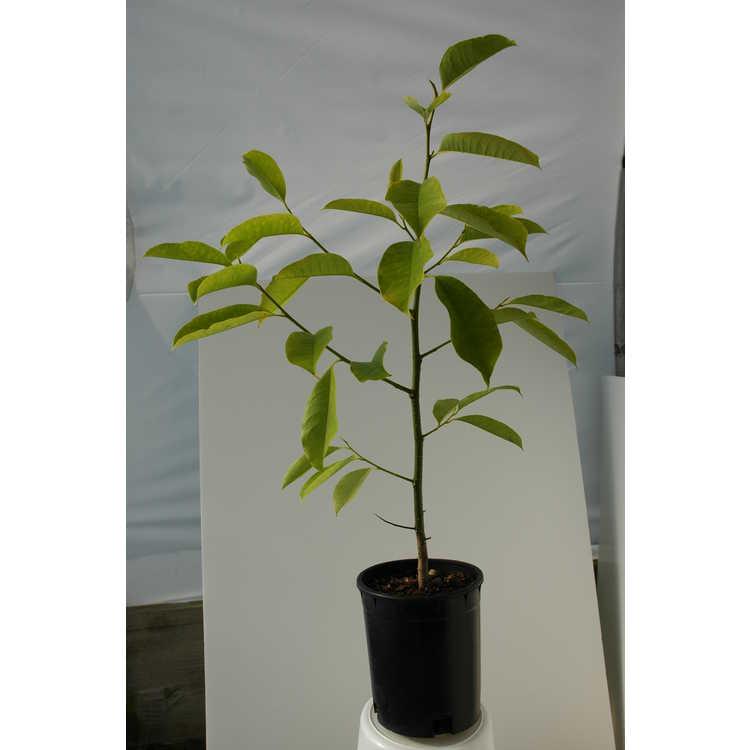 Magnolia chapensis