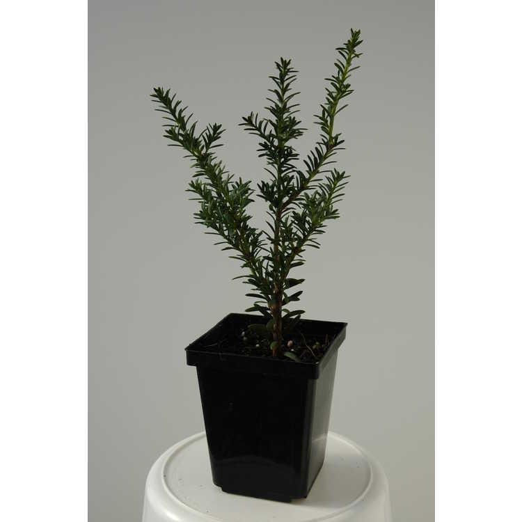 Podocarpus nivalis var. erectus