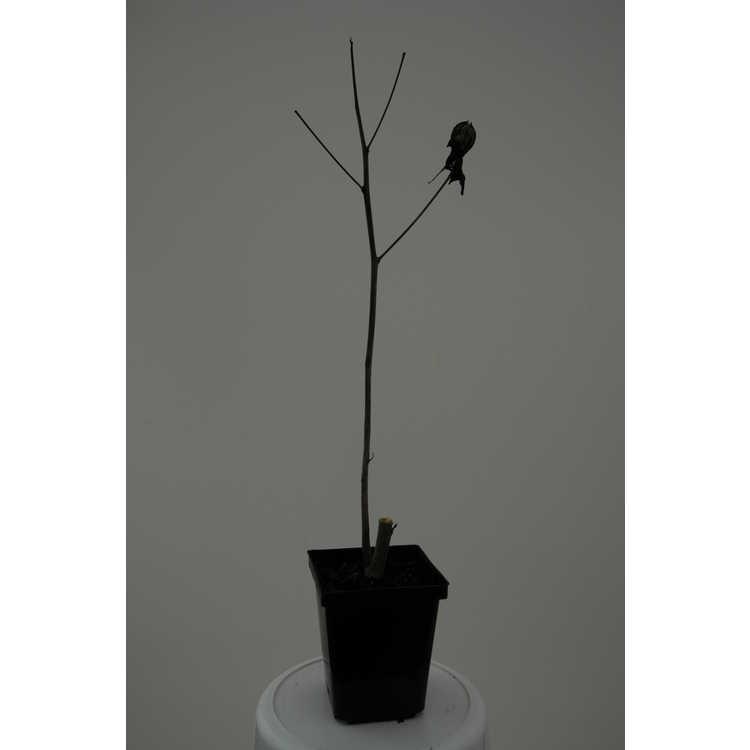 Hibiscus coccineus f. albus