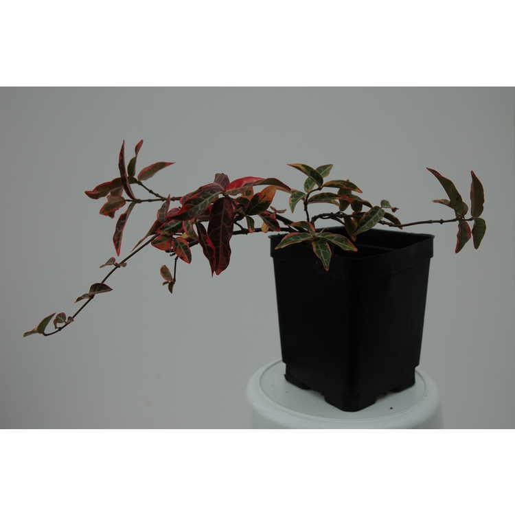 Trachelospermum asiaticum 'Nagaba' - variegated Asian jessamine