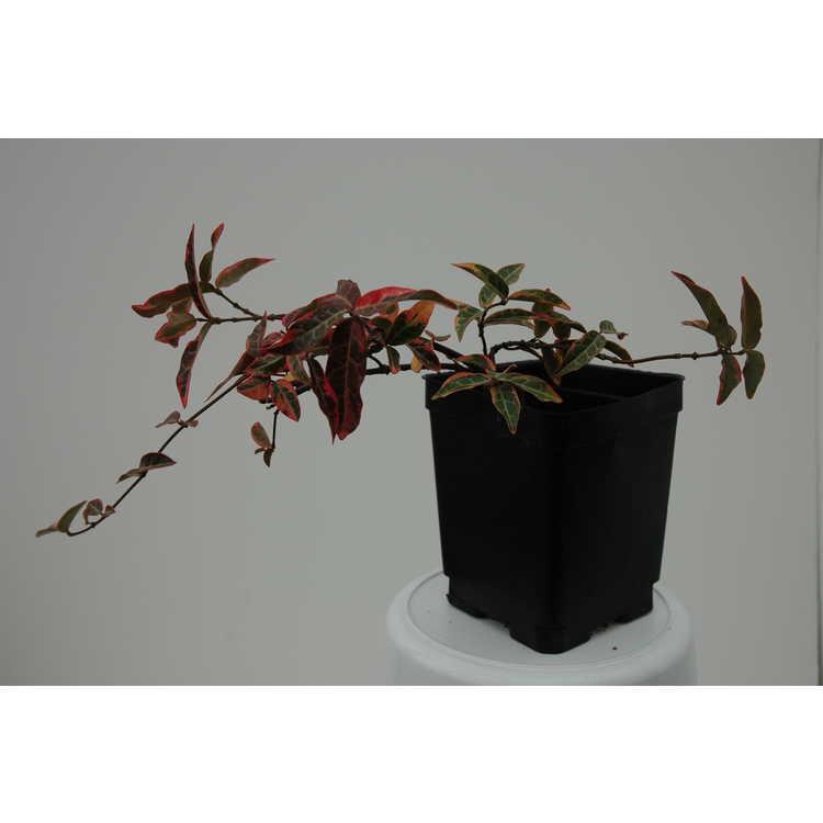 Trachelospermum asiaticum 'Nagaba'
