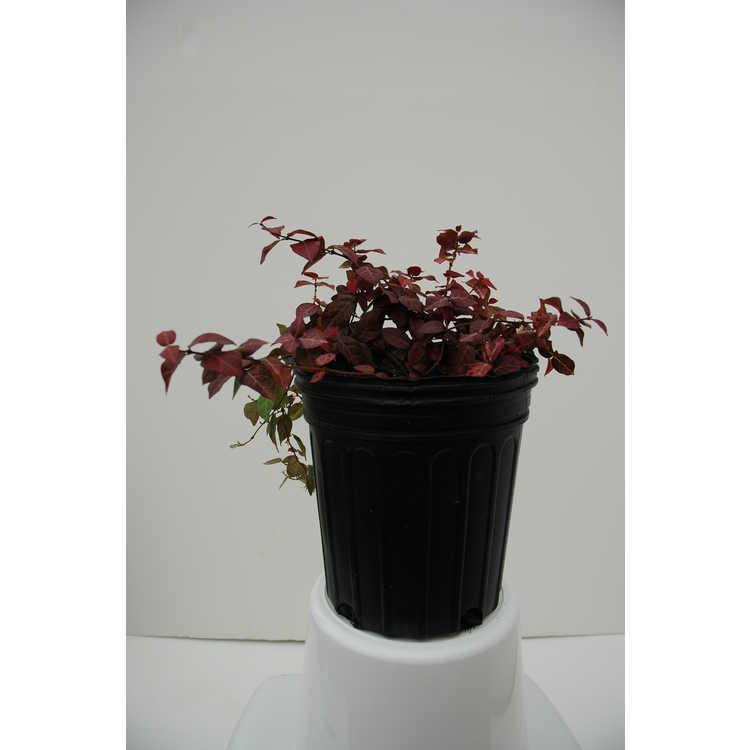 Trachelospermum asiaticum 'Hatsuyuki'