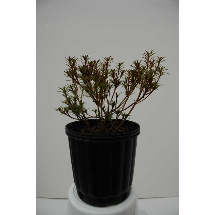 Rhododendron 'Kokinsai'