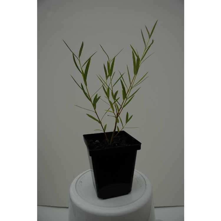 Salix 'Rubykins'