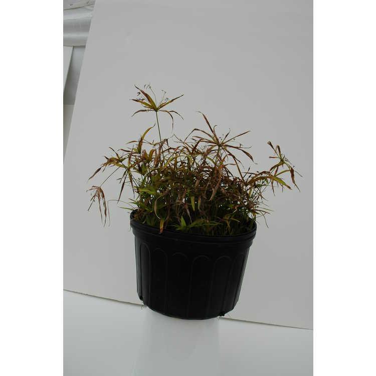 Cyperus albostriatus 'Nanus'
