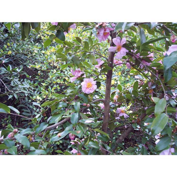 Camellia Winters Dream