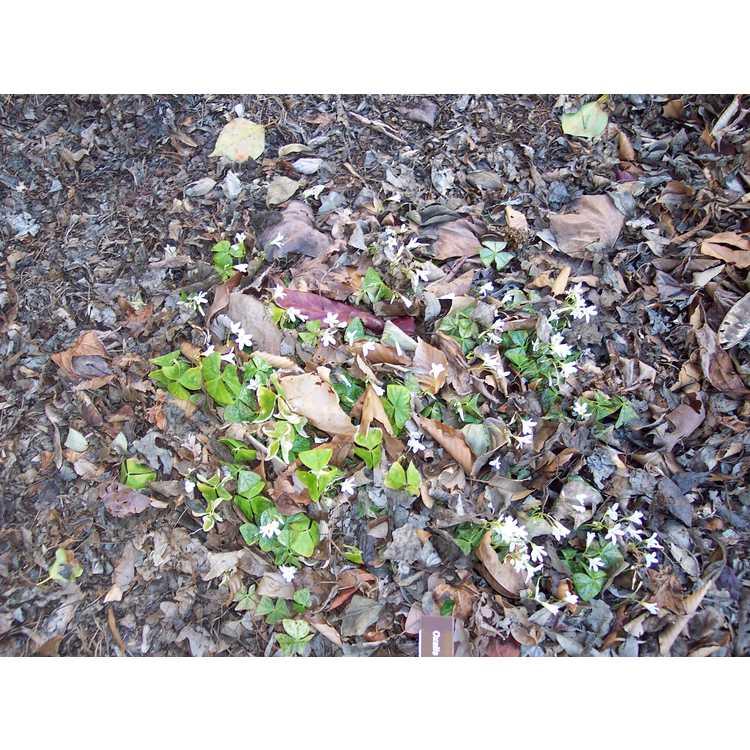 Oxalis regnellii Irish Mist