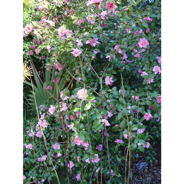 Camellia 'Winter's Charm' - Ackerman hybrid camellia