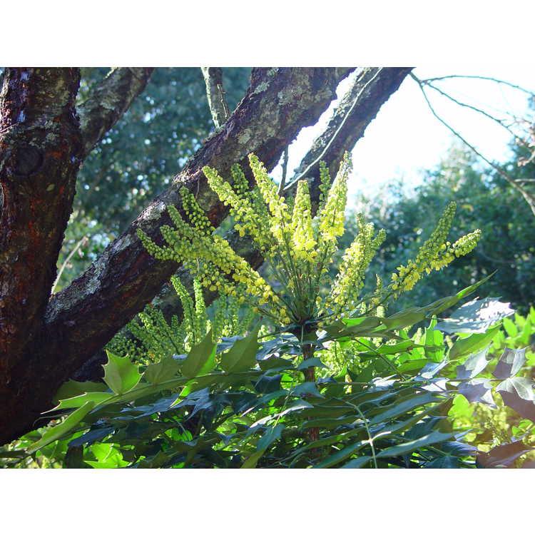 Mahonia ×media 'Winter Sun'