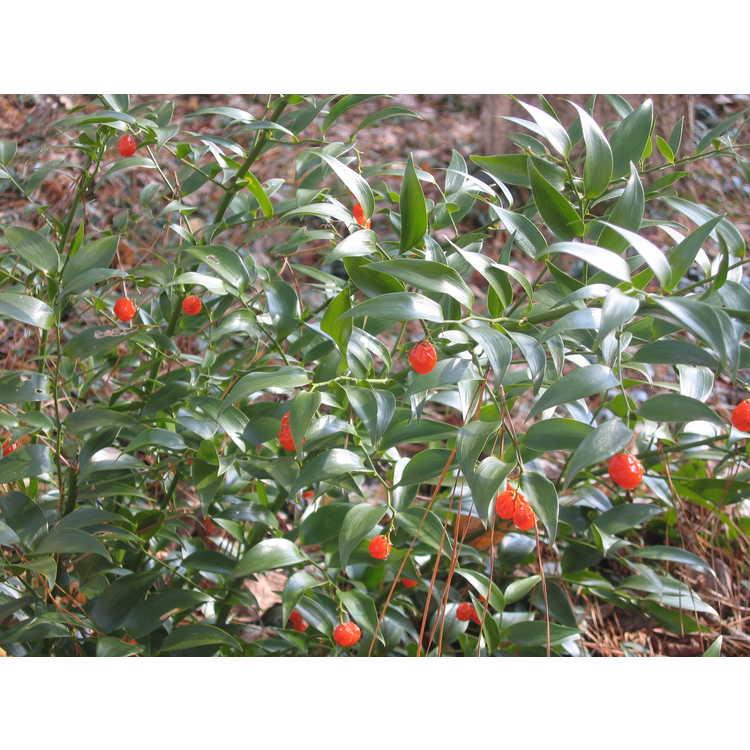 Danae racemosa - poet's laurel
