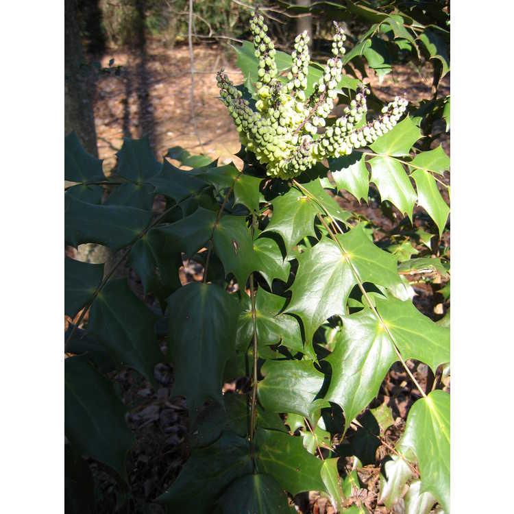 Mahonia bealei - leatherleaf mahonia