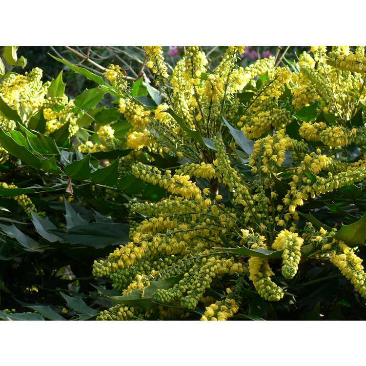Mahonia ×media 'Winter Sun' - grapeholly