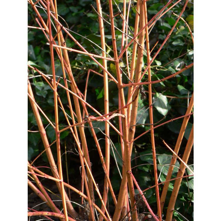 Cornus sanguinea 'Midwinter Fire' - bloodtwig dogwood
