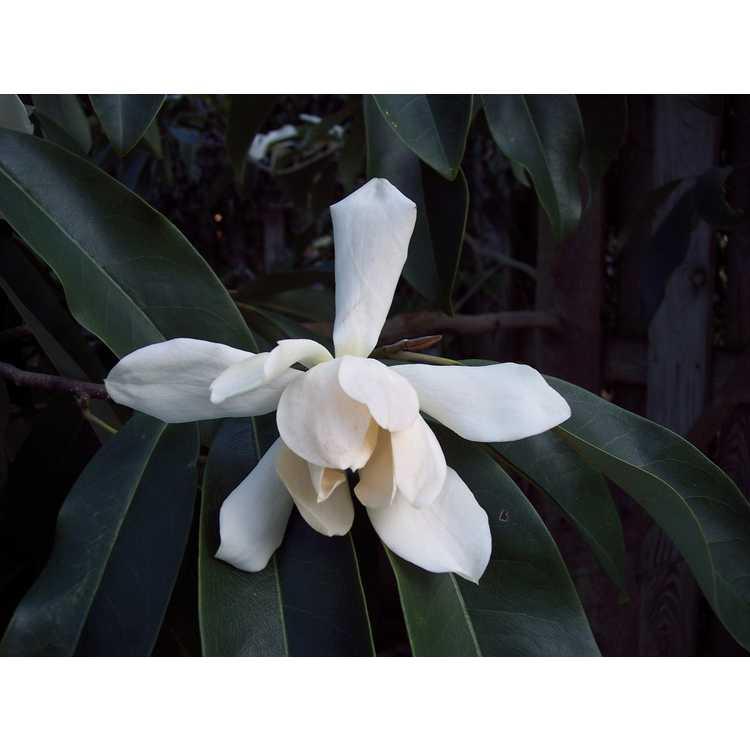 Magnolia cavaleriei - magnolia