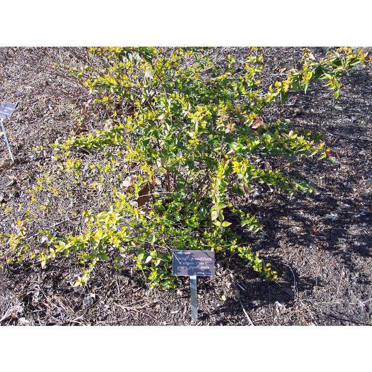 Abelia ×grandiflora 'Canyon Creek' - golden glossy abelia