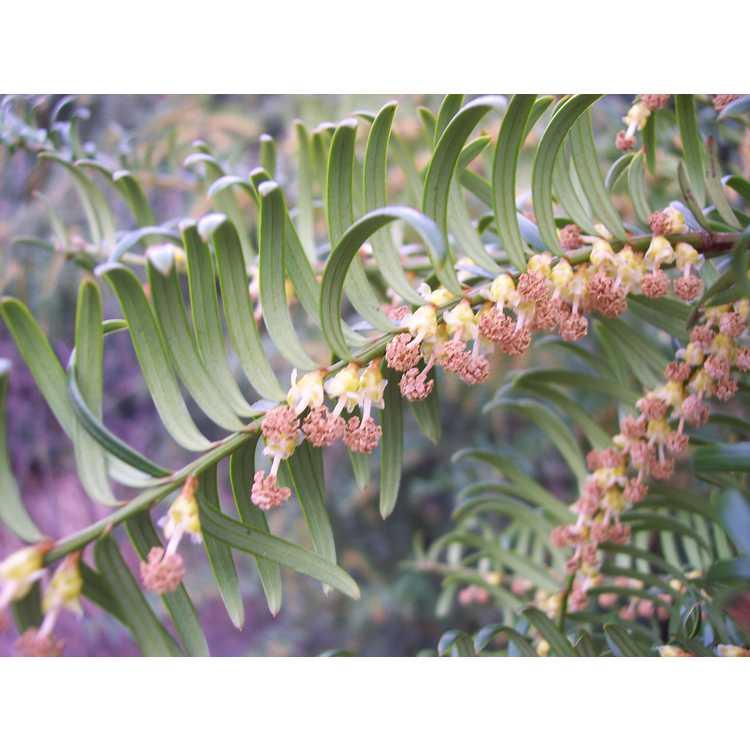 Taxus wallichiana var. chinensis - Chinese yew