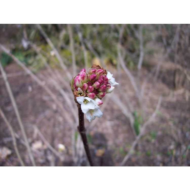 Viburnum grandiflorum