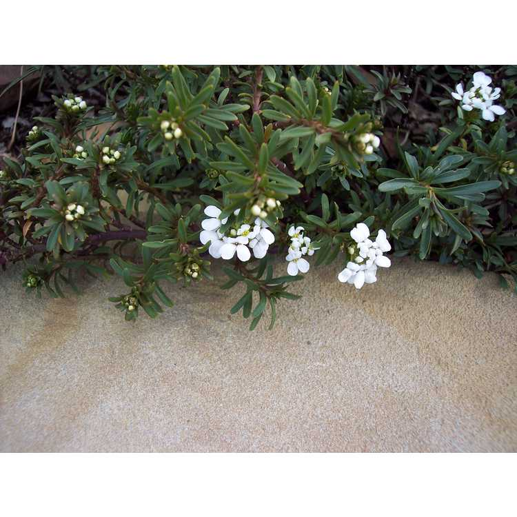 Iberis sempervirens Snow White