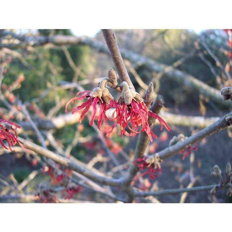 Hamamelis ×intermedia 'Diane' - red common witchhazel