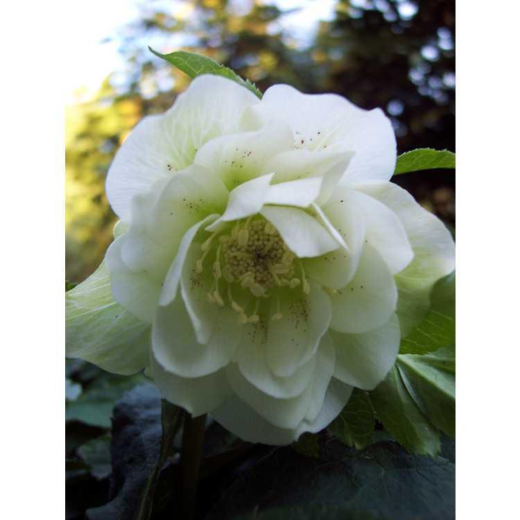 Helleborus hybridus Snow Queen