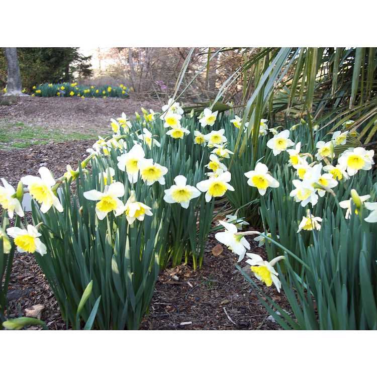 Narcissus 'Ice Follies' - large-cupped daffodil