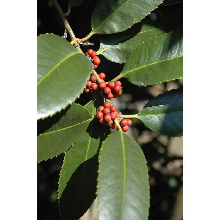 Ilex latifolia
