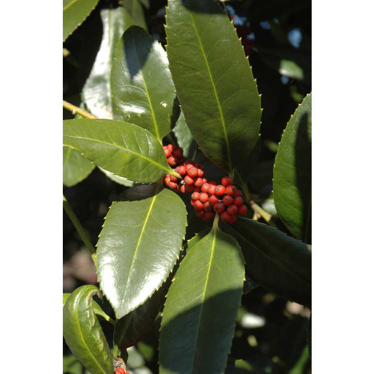 Ilex latifolia - lusterleaf holly