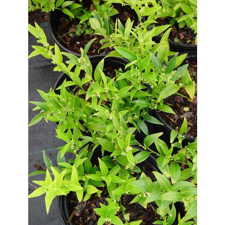 Sarcococca hookeriana var. digyna 'Western Hills' - Himalayan sweet box