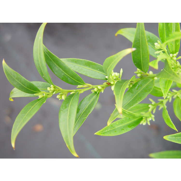 Sarcococca hookeriana var. digyna 'Western Hills'