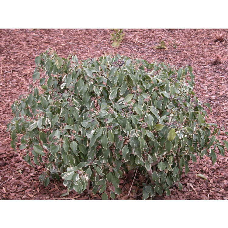 Hedera rhombea 'Creme de Menthe' - variegated adult Japanese ivy