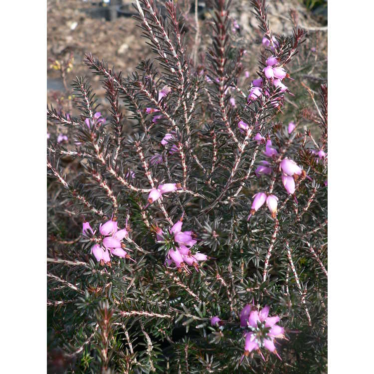 Erica ×darleyensis 'Furzey' - Darley heath