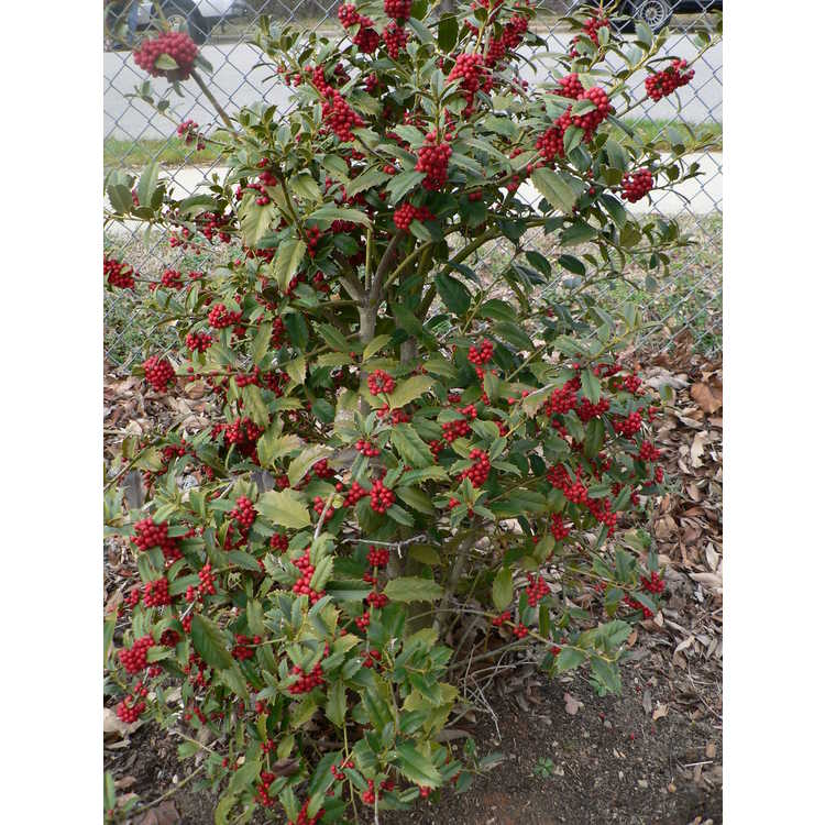 Ilex 'Conal' - Cardinal red holly